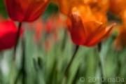 Tulips Abstract, USA