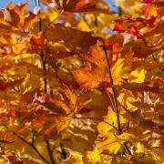 Autumn Leaves, UK