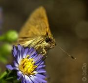 Feeding Butterfly, USA