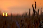 Wheat Sunset, USA