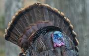 Wild Turkey, USA