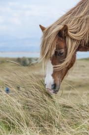 Llanddwyn Pony, UK