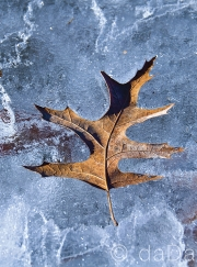 Ice Leaf, USA