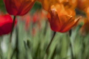 tulip_abstract_webby.jpg